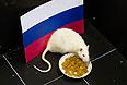 Белая лабораторная крыса по кличке Шурик предсказывает результат хоккейного матча Россия - Словения на Олимпиаде в Сочи.
