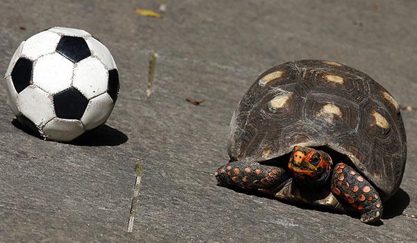 Черепаха-прорицательница Тина будет предсказывать результаты матчей.