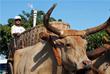 Участник эстафеты олимпийского огня верхом на быке в городе Триндаде