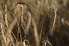 Эксперты еще больше снизили прогнозы сбора пшеницы в РФ из-за гибели озимых